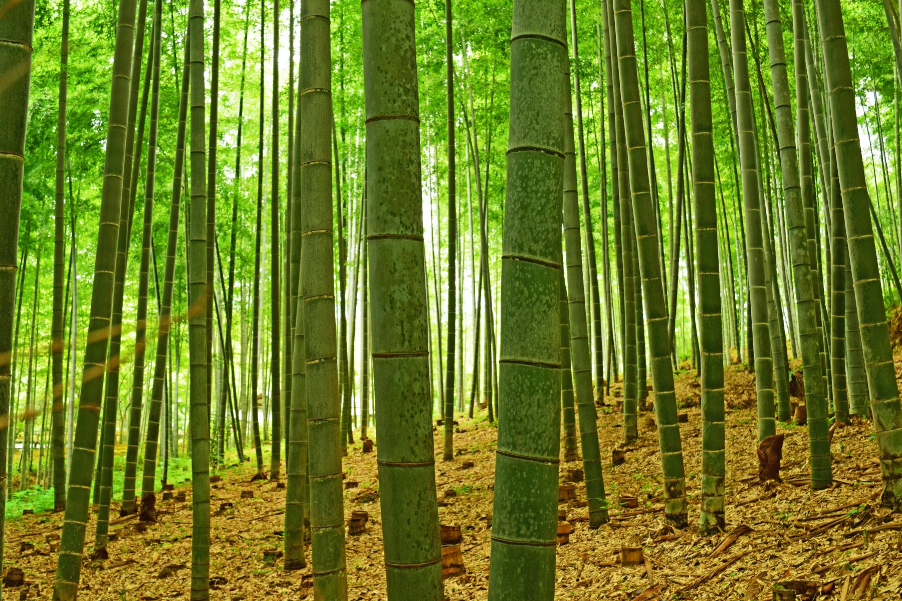 Let's walk the ancient pilgrimage trail of Japan - Kumano Kodo - Rerun starting at Kyoto, Japan