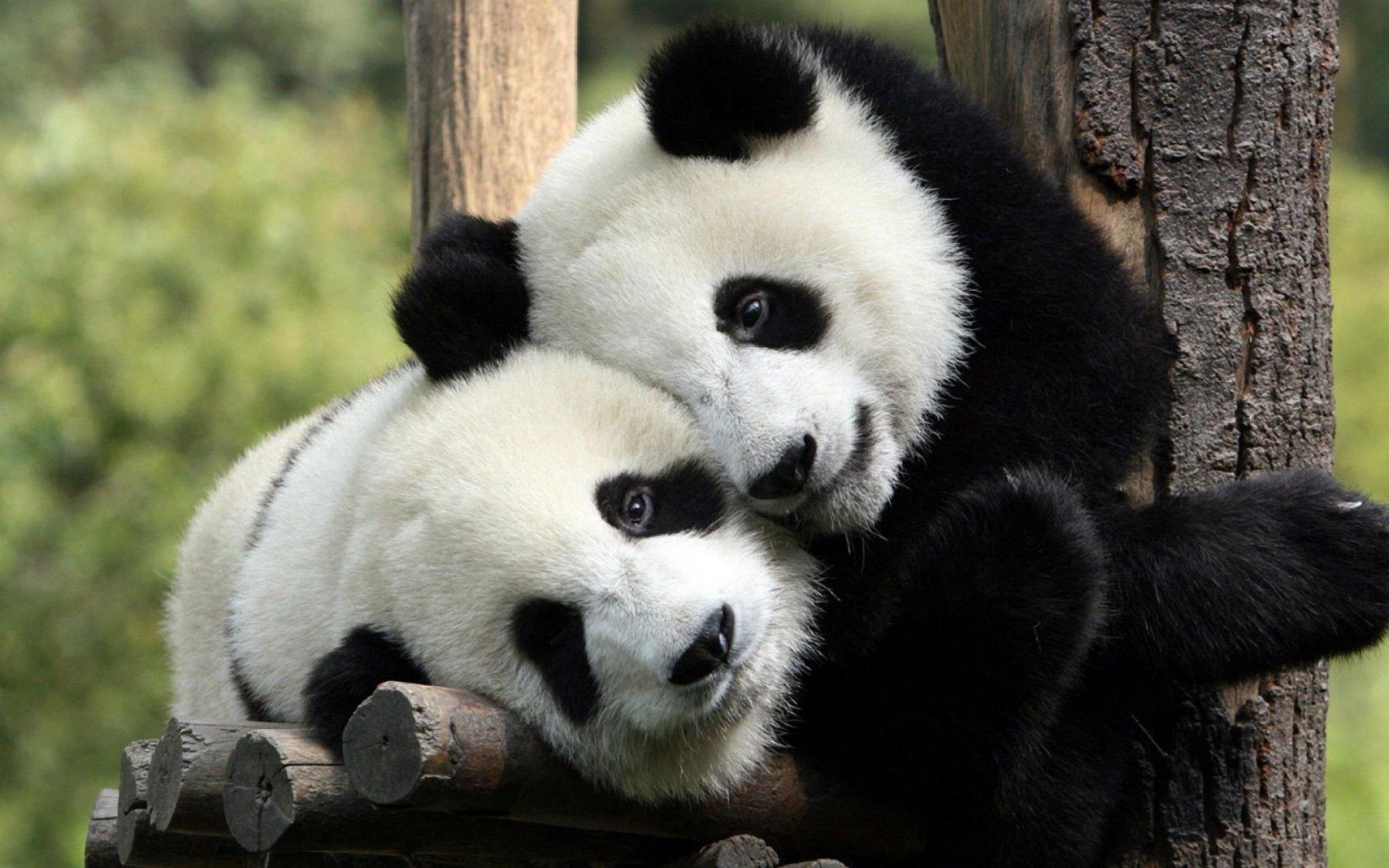 Let's get up close with pandas in Sichuan starting at Sichuan, China