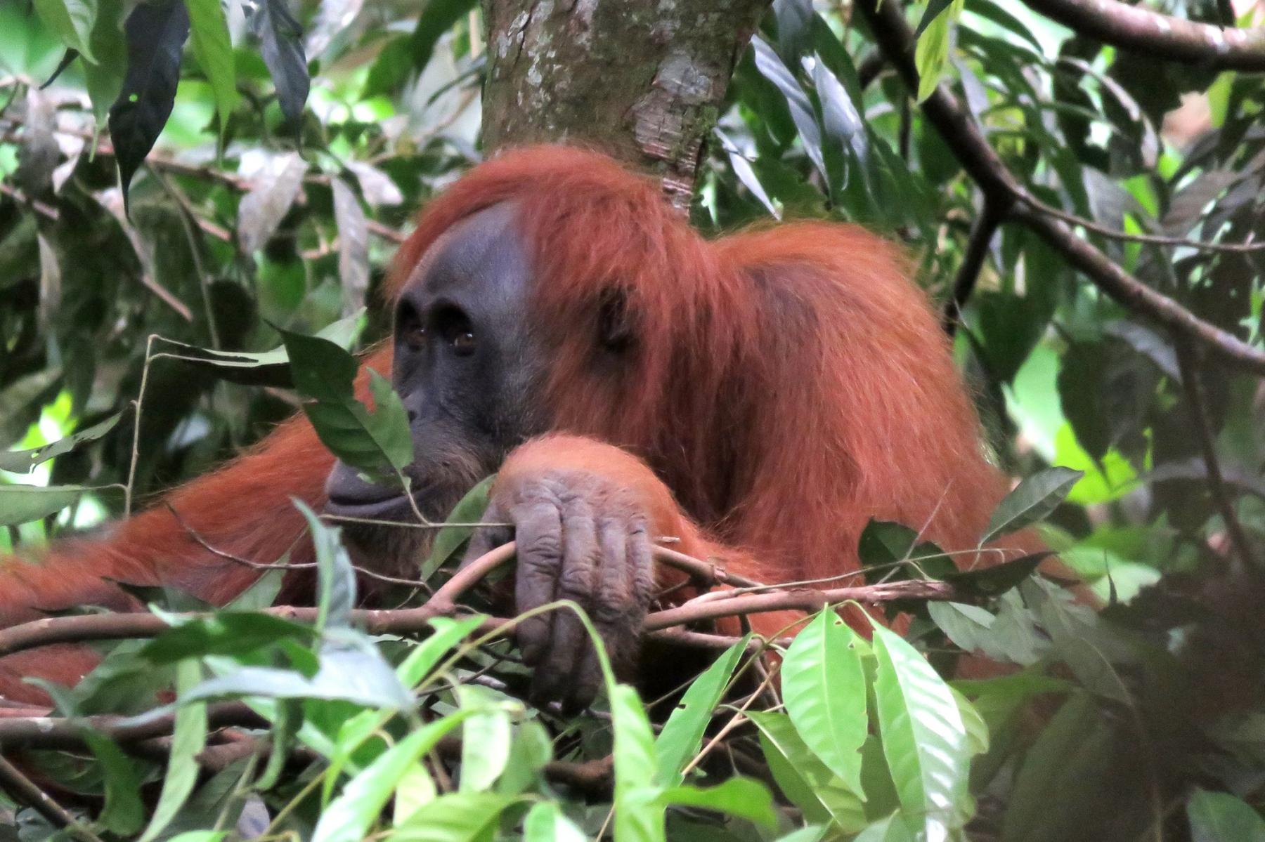 Gunung Leuser National Park Jungle Trek - Orang Utans & Rafflesia Flower Treks starting at Bukit Lawang-Jungle Trekking, Bukit Lawang, Langkat Regency, North Sumatra, Indonesia