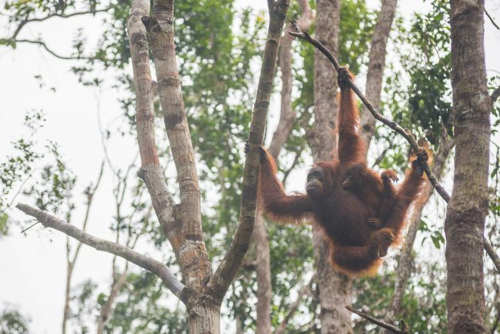 5D4N Orangutan River Safari - Overnight on Kelotok Boat + Semarang Hill Resort